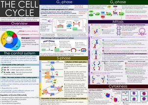 cell cycle, клеточный цикл
