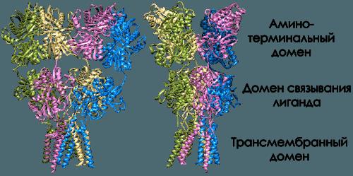 ampa рецепторы