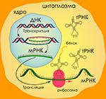 синтез белка картинки